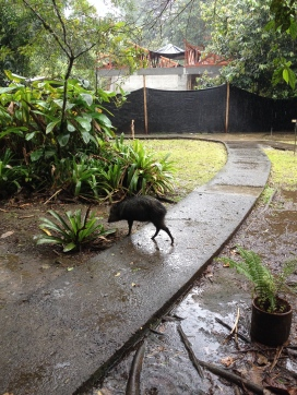 peccary in front of my cabin
