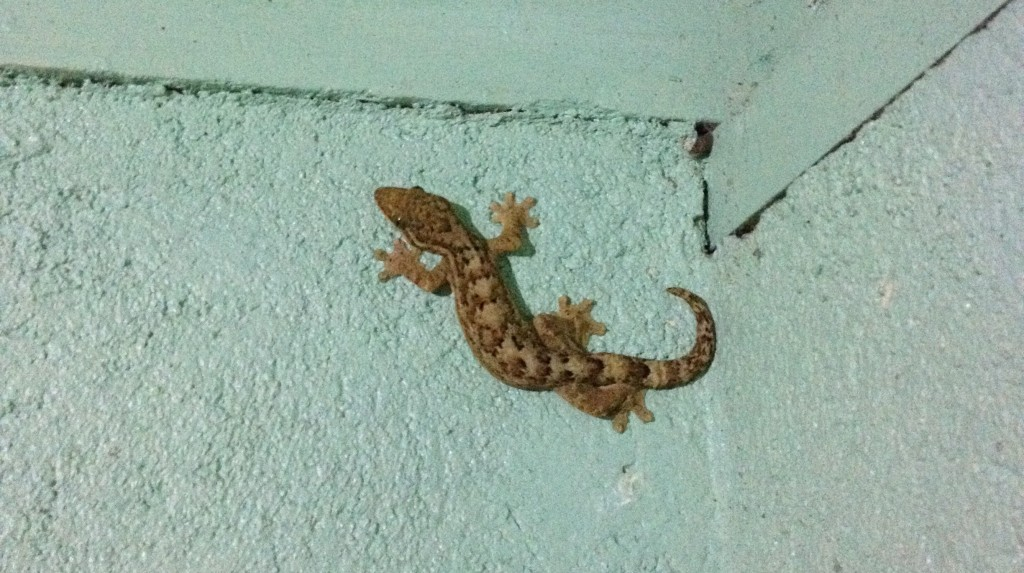 the culprit- a 12cm Turnip-tailed Gecko (Thecadactylus rapicauda)!