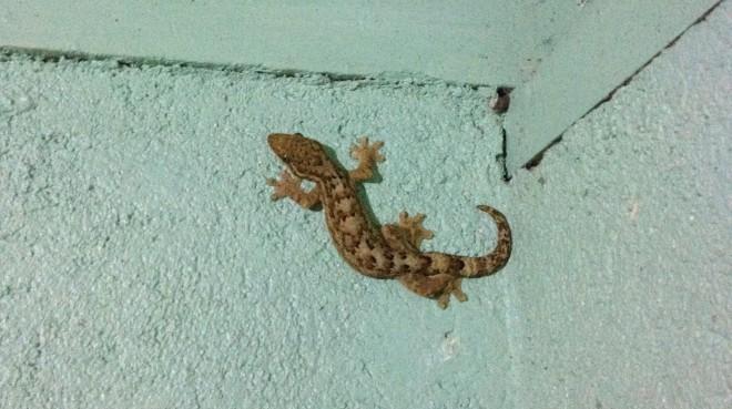 the culprit- a 12cm Turnip-tailed Gecko (Thecadactylus rapicauda)!